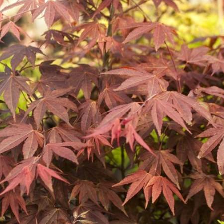 Acer palmatum 'Marjan'