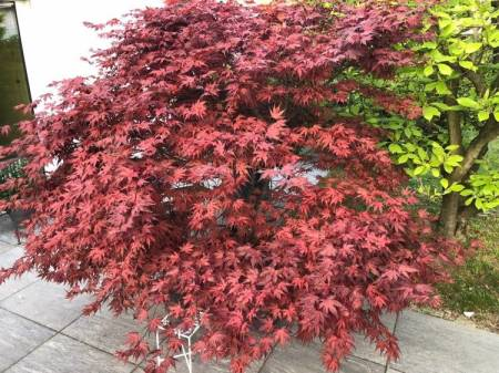 Acer palmatum 'Purple Ghost'