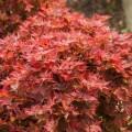Acer palmatum 'Ruby Stars'