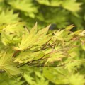 Acer shirasawanum 'Autumn Moon'