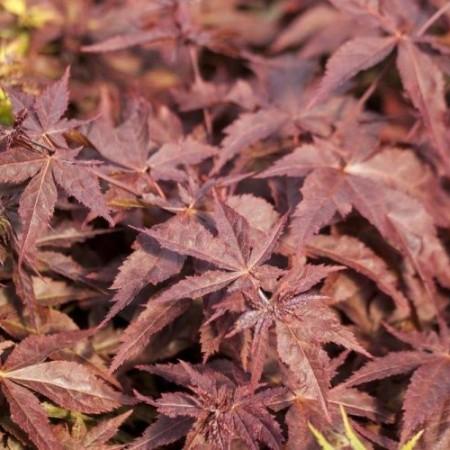 Acer palmatum 'Peve Ollie'
