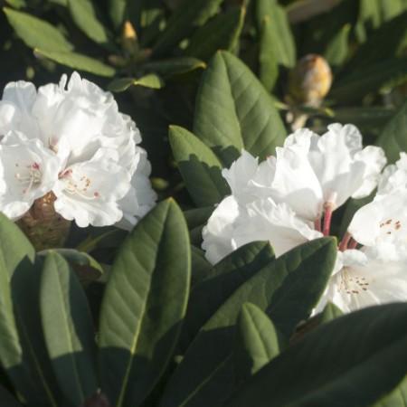 Rhododendron rex 'Graet Dane'