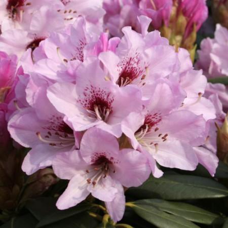 Rhododendron sutchuenense 'Frühlingsbeginn'
