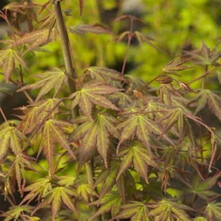 Acer palmatum 'Wendy'
