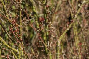 Acer palmatum 'Kotohime' ebenfalls einer der ersten mit Laub im Frühjahr