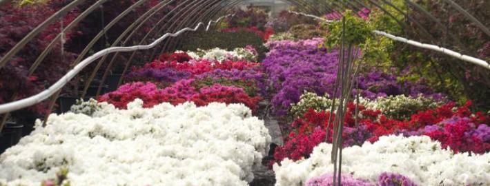 Japanische Azaleen in voller Blüte