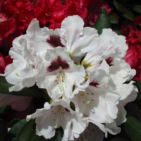 Rhododendron yakushimanum 'Annika'