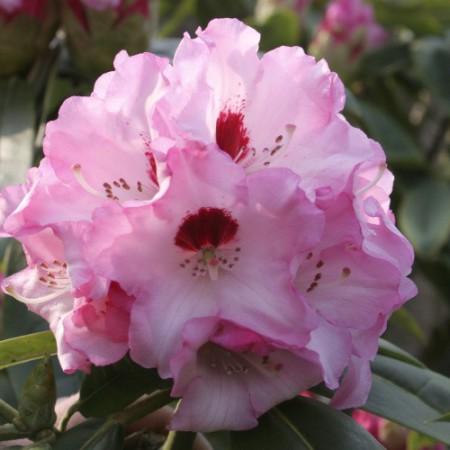 rhododendron calophytum 'Arkona'