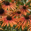 Echinacea 'Indian Summer' ®
