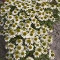 Echinacea 'Meditation White'®