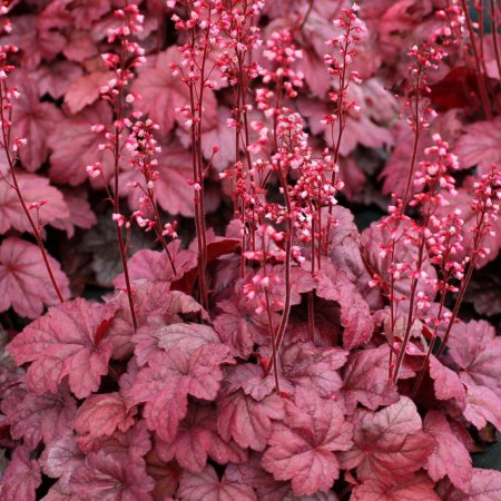Heuchera 'Grape Soda'