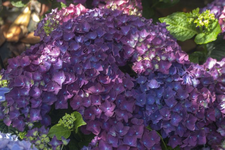 hydrangea 39 deep purple dance 39 hortensie baumschule nielsen. Black Bedroom Furniture Sets. Home Design Ideas