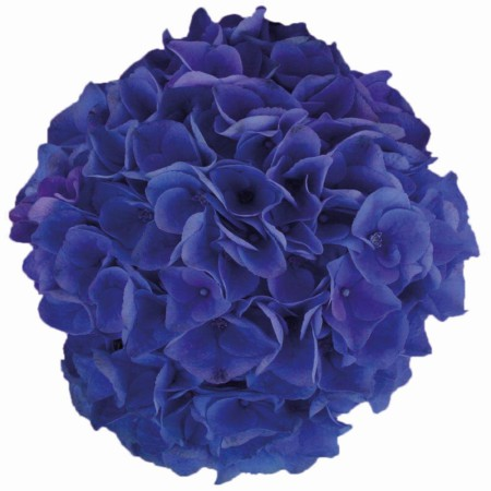 Hydrangea macrophylla 'Blue Ballad' ® Music Collection ®