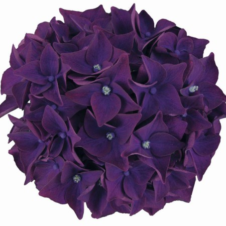 Hydrangea 'Deep Purple Dance' ® Music Collection ®