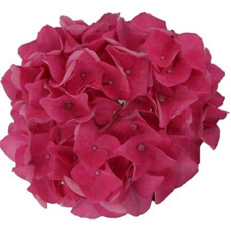 Hydrangea macrophylla 'Pink Pop' ® Music Collection ®