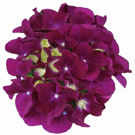Hydrangea macrophylla 'Purple Punk' ® Music Collection ®