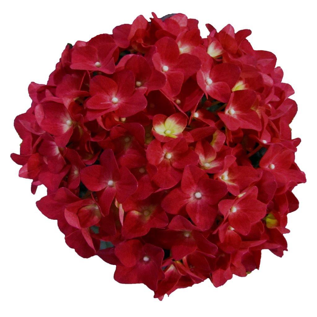 hydrangea red reggae hortensie rot baumschule nielsen. Black Bedroom Furniture Sets. Home Design Ideas