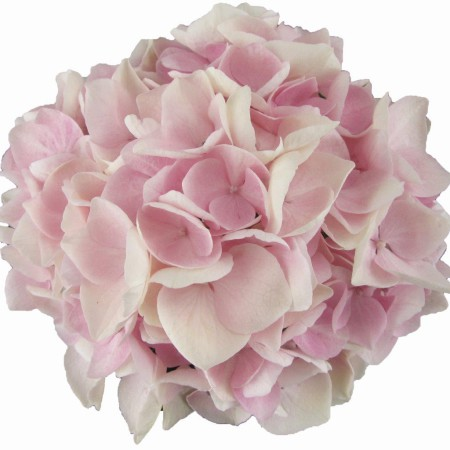 Hydrangea macrophylla 'Soft Pink Salsa' ® Music Collection ®