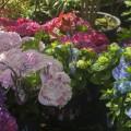 Hydrangea macrophylla Music Collection ®