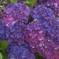 Hydrangea macrophylla 'Purple Punk' ® Music Collection ®