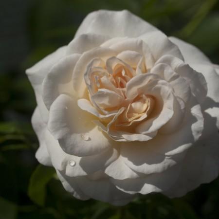 Rose 'Kosmos'