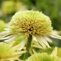 Echinacea 'Buttercream'