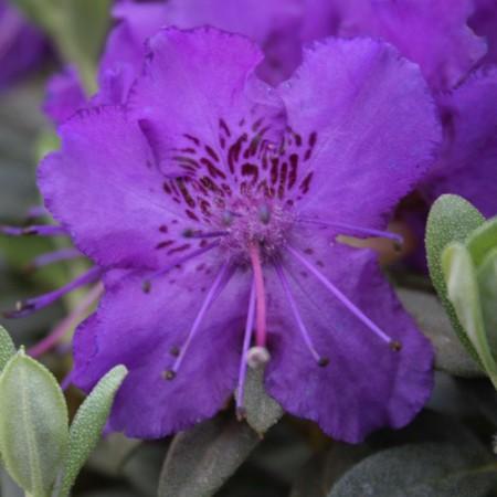 Rhododendron calostrotum 'Azurella'