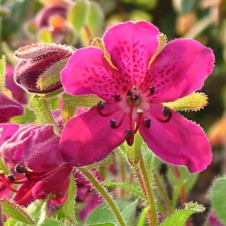 Rhododendron camtschaticum