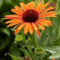 Echinacea 'Orange Skipper'
