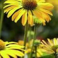 Echinacea 'Golden Skipper'