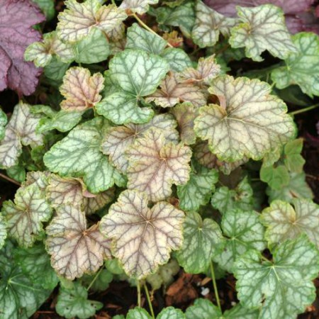 Heuchera 'Mint Frost'