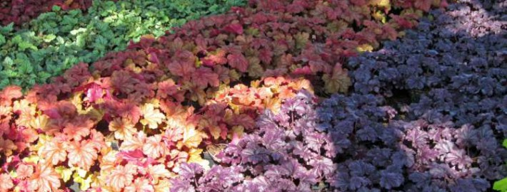 Heuchera 'Forever Purple und 'Rio'