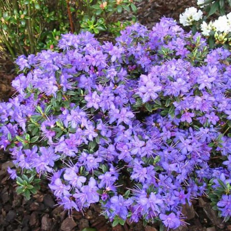 Rhododendron impeditum 'Saint Merryn'