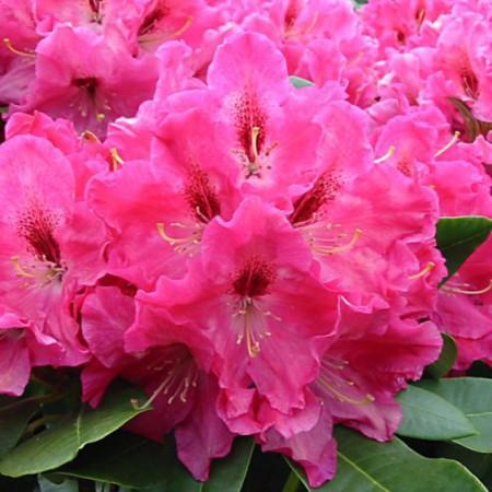 Rhododendron Hybride 'Juniflair'