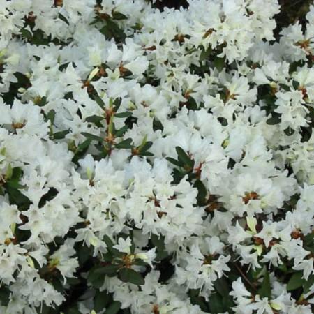 Rhododendron keiskei 'Crane'