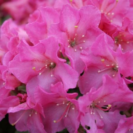 Rhododendron keiskei 'Oban'