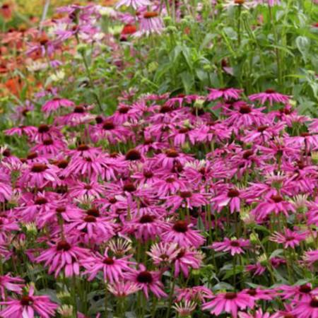 Echinacea 'Purple Emperor'