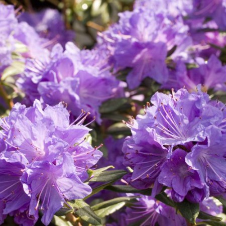 Rhododendron russatum 'Blaufeder' ®