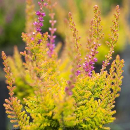 Calluna vulgaris 'Firefly'