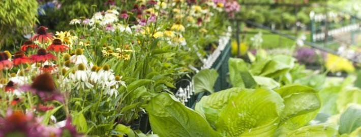 Hosta 'Sum and Substance' und viele, viele Echinacea