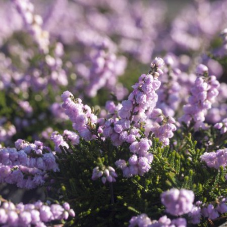 Calluna vulgaris 'County Wicklow'