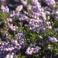 Calluna vulgaris 'County Wicklow'