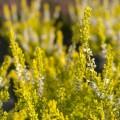 Calluna vulgaris 'Gold Spronk'