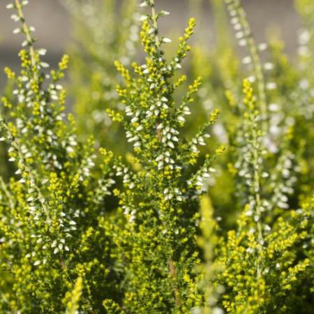 Calluna vulgaris 'Spring Cream'