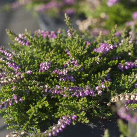 Calluna vulgaris 'Dirry'