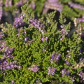 Calluna vulgaris 'Dirry'