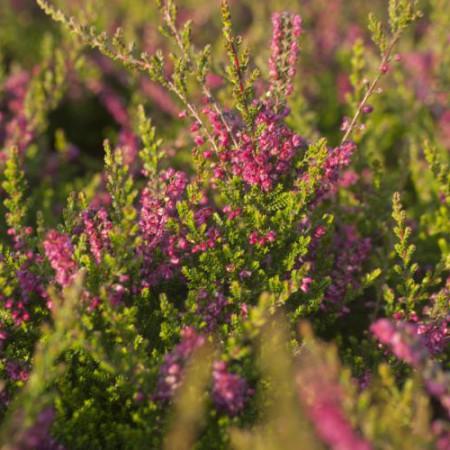 Calluna vulgaris 'Eckhard Miessner'