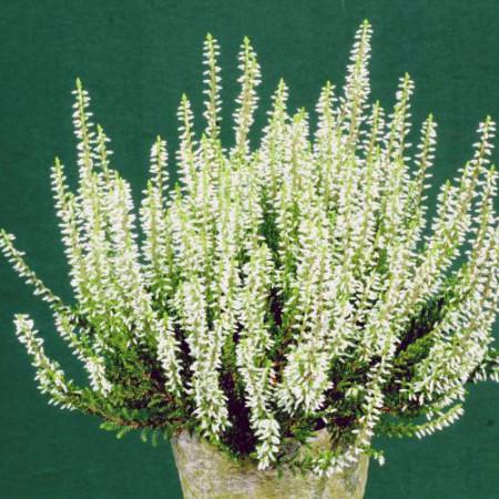 Calluna vulgaris 'Elisa'