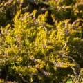 Calluna vulgaris 'Gelber Heidezwerg'