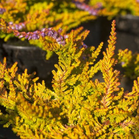 Calluna vulgaris 'Golden Feather'